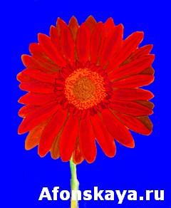 Red gerbera on blue, watercolor