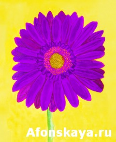 Purple gerbera on yellow, watercolor
