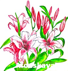 Hand painted picture, watercolours - two pink lilies on white background. Size of original 30 x 28 sm.