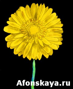Yellow gerbera on black