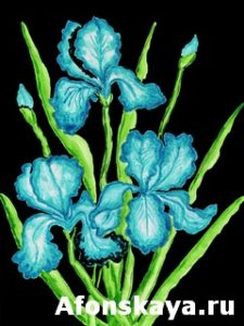 Three blue irises