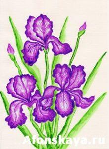 Three purple irises