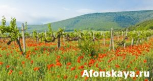 Vineyards, hills and red poppies