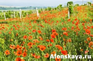 Red poppies and vineyard