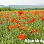 Meadow with red poppies