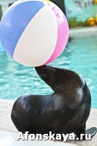 Sea lion with ball