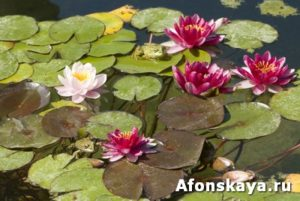 Water lilies and frogs