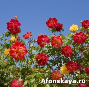 Red and yellow roses on blue sky