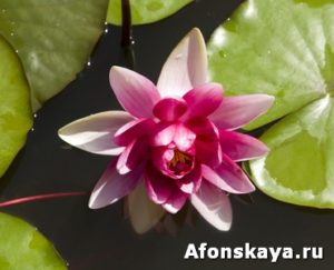 Crimson water lily
