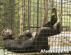Chimpanzee resting