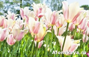 Pink-white tulips