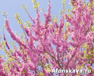 Branches of cercis tree - Redbud