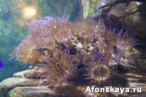 Actinia (anemone)