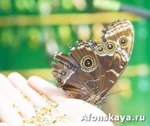 Butterfly Caligula on hand