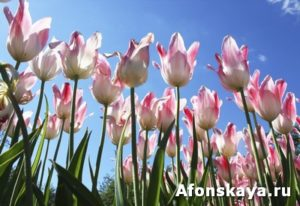 White-pink tulips on blue sky