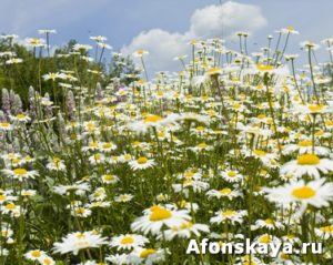 Meadow with camomiles