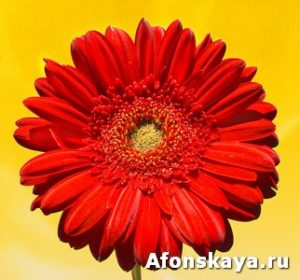 Red gerbera on yellow background