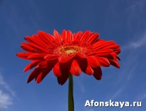 Red gerbera on blue sky