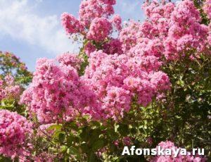 Japanese lilac, Syringa Japonica,