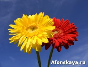 Two flowers red and yellow gerbera on blue sky