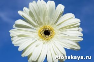 White gerbera on blue sky