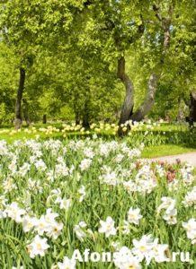 Narcissus in apple garden