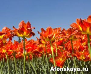 Red tulips on blue sky
