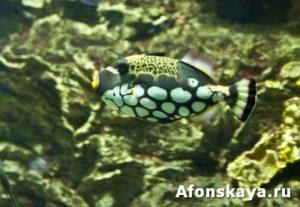 Clown triggerfish (Balistes conspicillum)