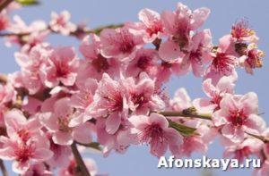 Peach flowers on sky