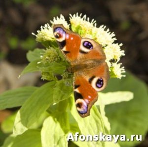 Butterfly Inachis io (Peacock eye)