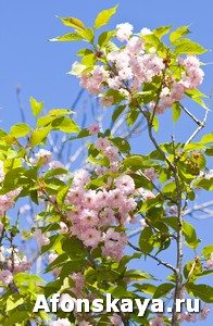 Japanese ppink bird cherry tree (Prunus serrulata)