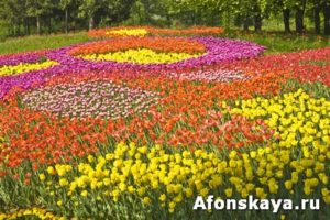 Field of tulips of different colours