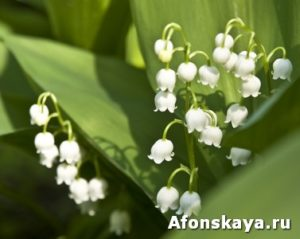 Lily of the valley (Convallaria)