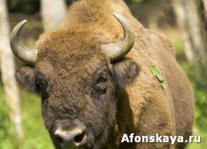 Bison bonasus