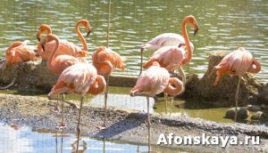 Pink flamingo standing near water