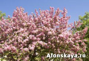 розовая вишня сакура