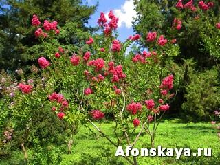 Лагерстремия Никитский ботанический сад