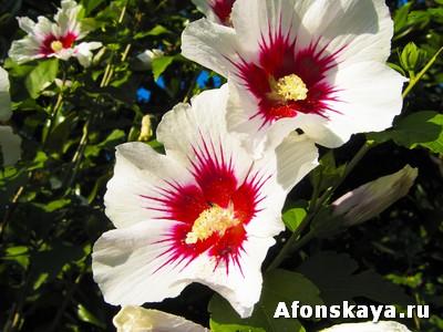гибискус, сирийская роза
