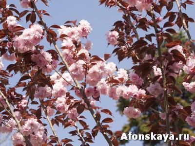черёмуха розовая
