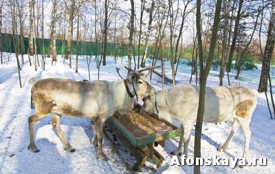 Есть тут и редкие белые олени, они очень красивые, белоснежные.
