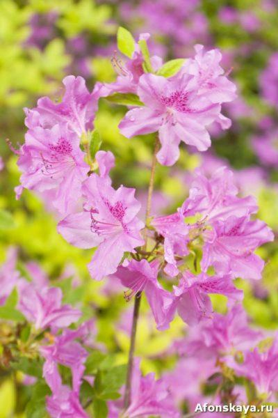 рододендрон киев ботанический сад фомина