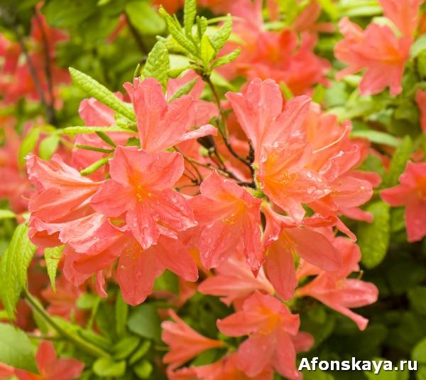киев ботанический сад фомина рододендрон