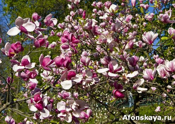 магнолии ботанический сад имени фомина киев