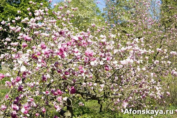 магнолия киев ботанический сад имени фомина